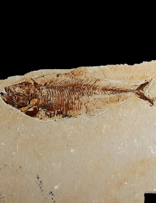 Poisson fossile Diplomystus dentatus