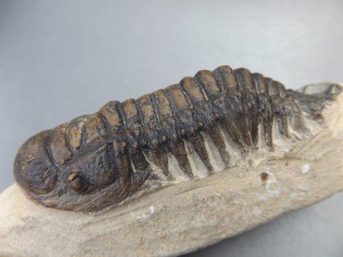 Ensemble Fossile Trilobite rare