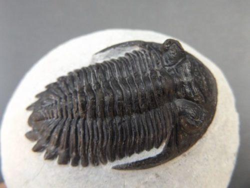 Fossile Trilobite rare
