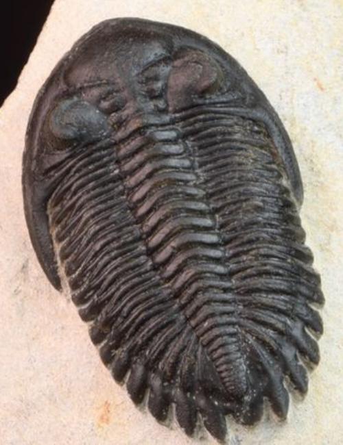 Fossile de trilobite- rare